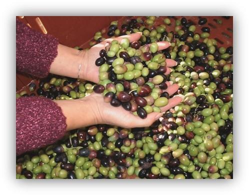 Fabrication de l'huile d'olive
