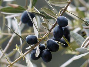 L'olivier est-il plus intelligent que l'homme ?