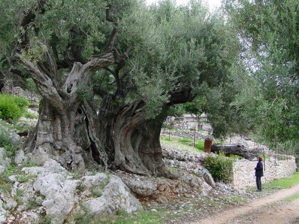 histoire de l'olivier