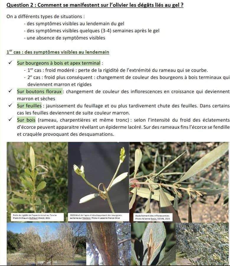 le gel du printemps et des nouvelles de la mouche de l'olivier