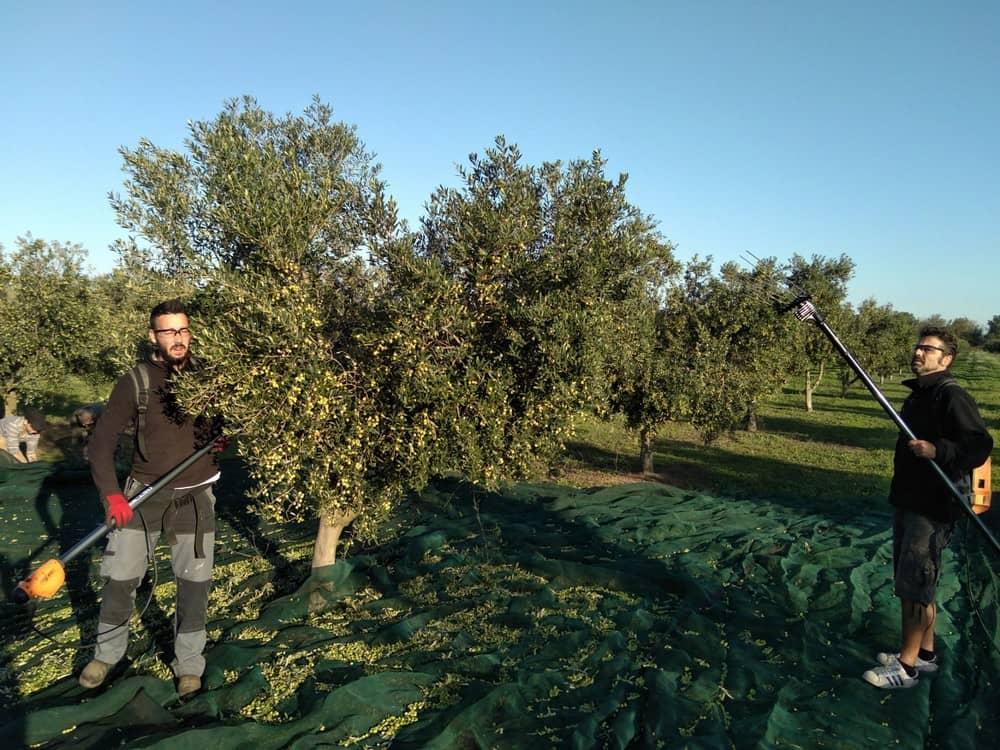 Cueillette olives